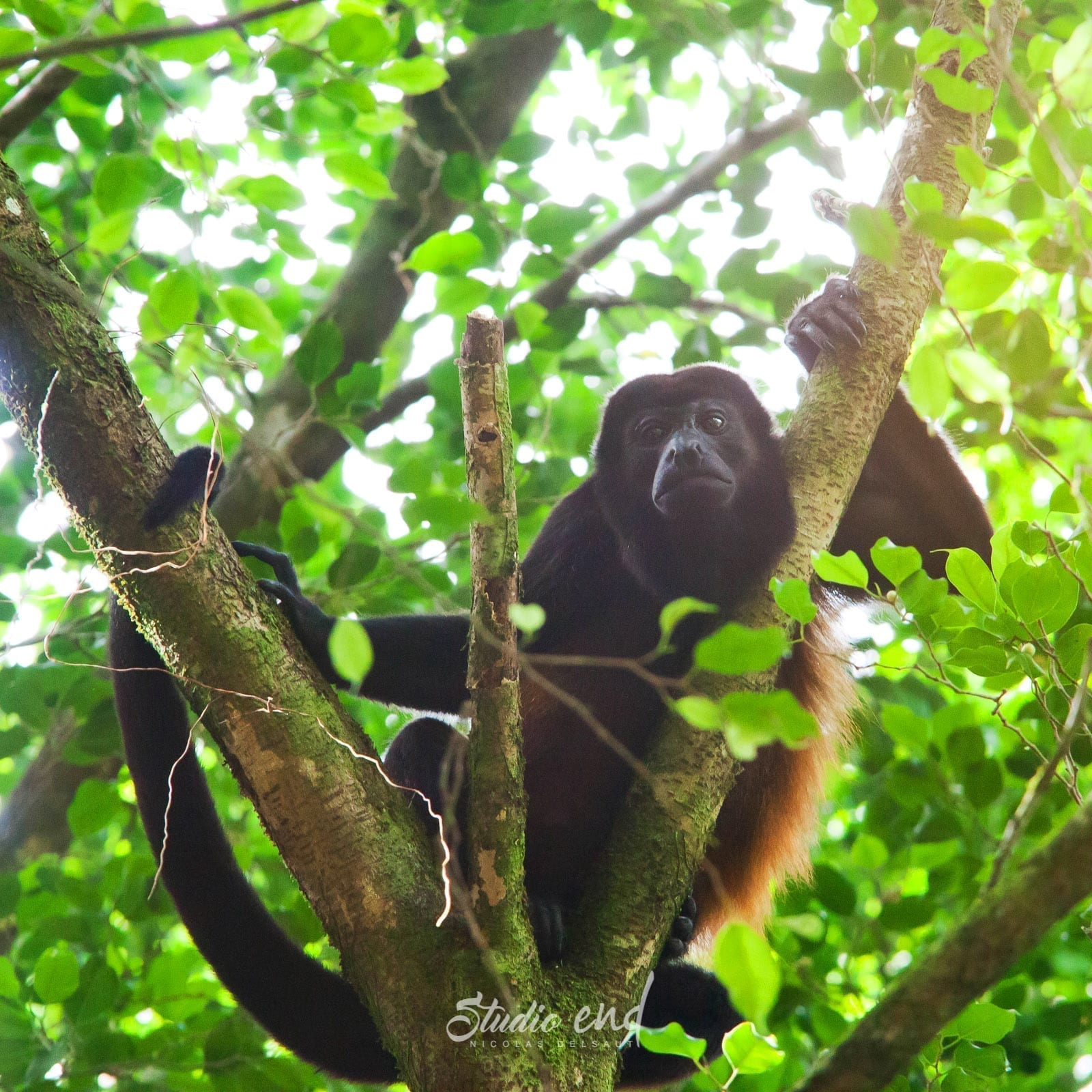 Photographie et reportage de voyage, animalier gibbon Costa Rica Nicolas Delsaut