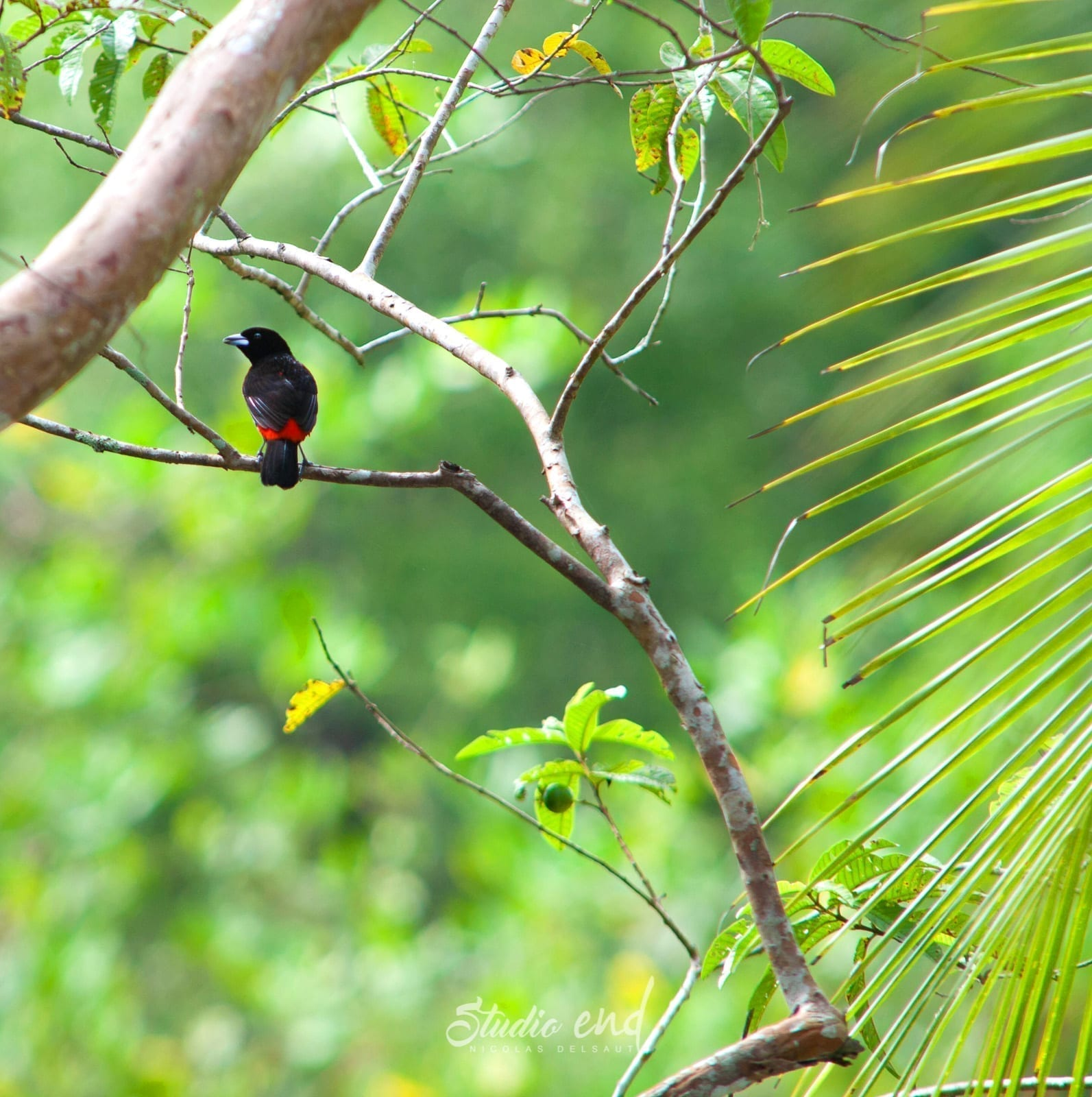 Photographie et reportage de voyage, animalier, oiseau Costa Rica Nicolas Delsaut