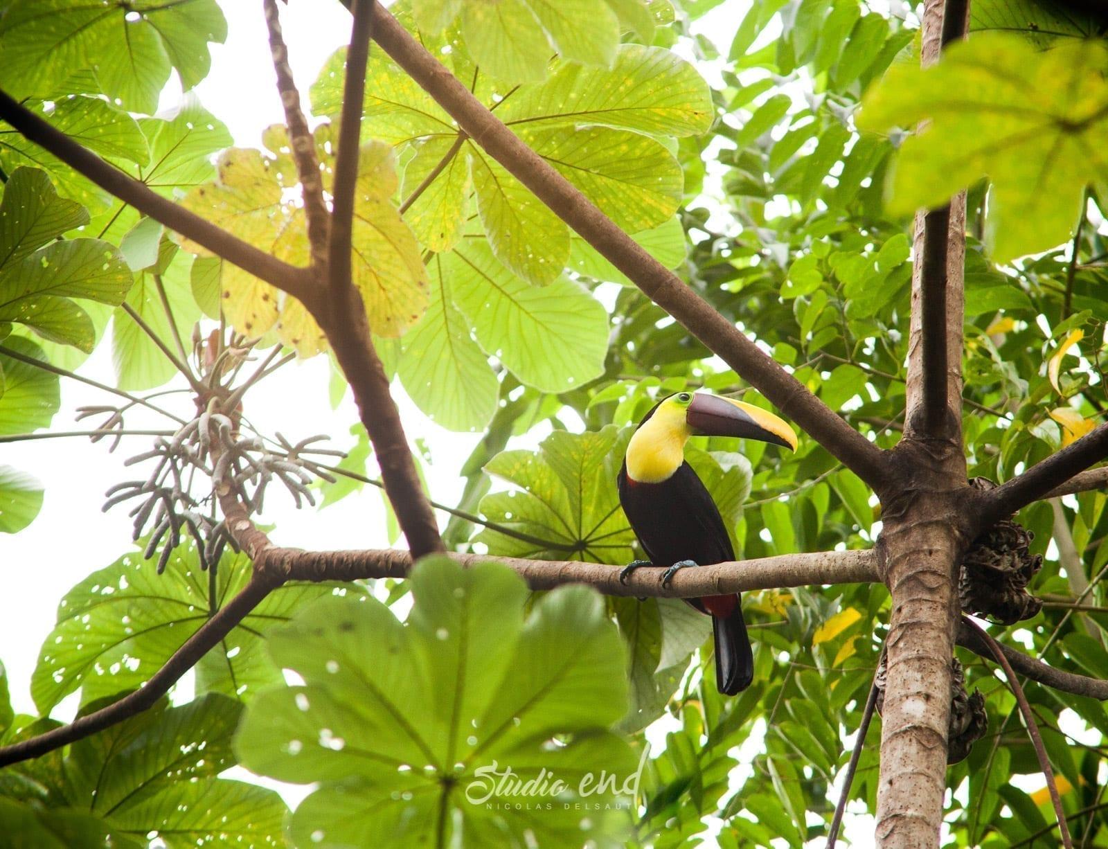 Photographe et reportage de voyage, animalier Toucan Costa Rica Nicolas Delsaut