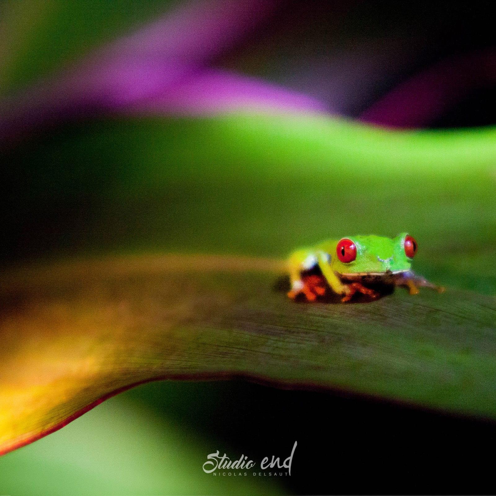 Photographie et reportage de voyage, animalier rainette Costa Rica Nicolas Delsaut