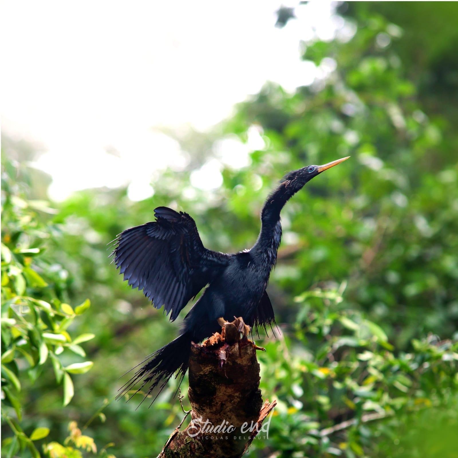 Photographie et reportage de voyage, animalier oiseau Costa Rica Nicolas Delsaut