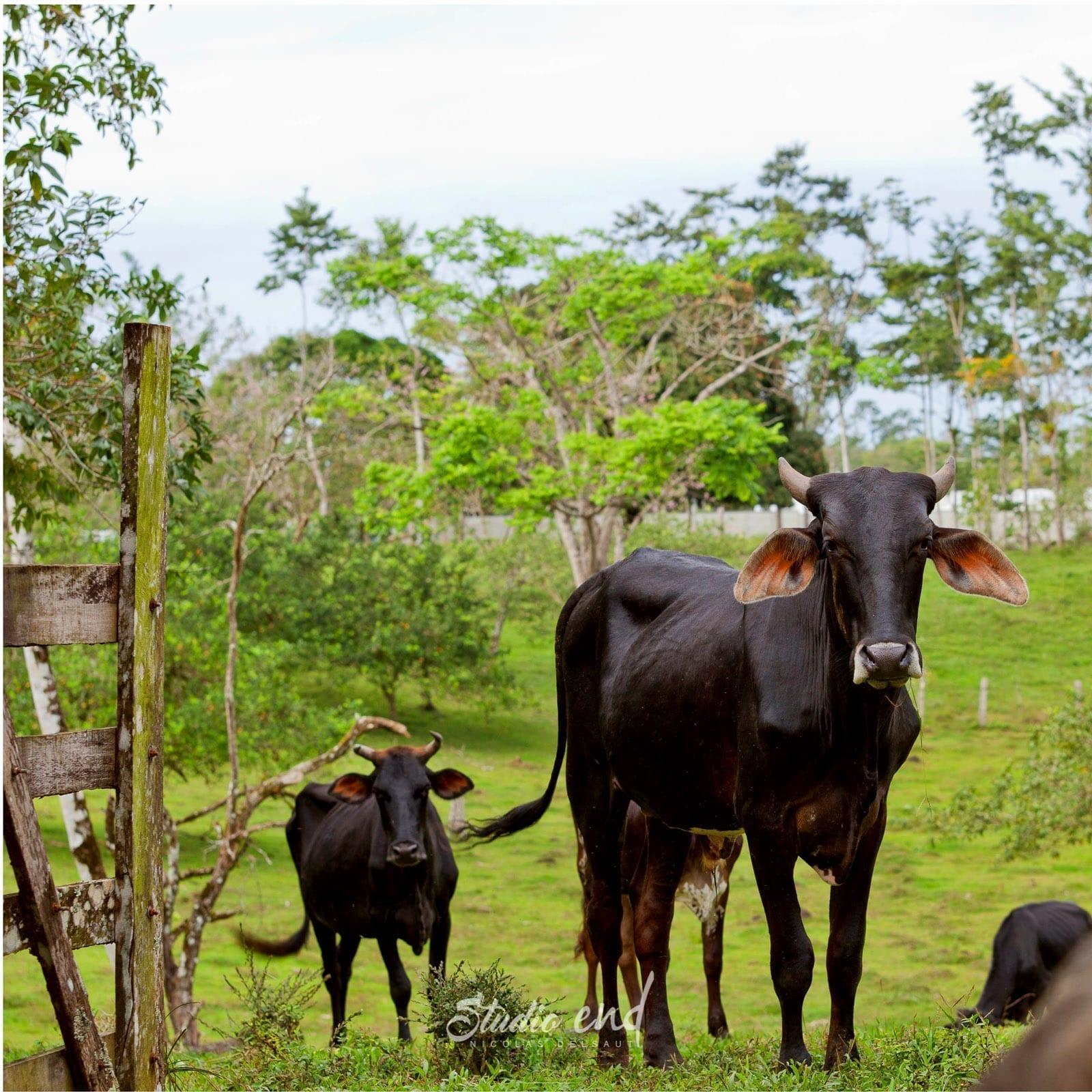 Photographie et reportage de voyage, animalier vache guanacaste Costa Rica Nicolas Delsaut