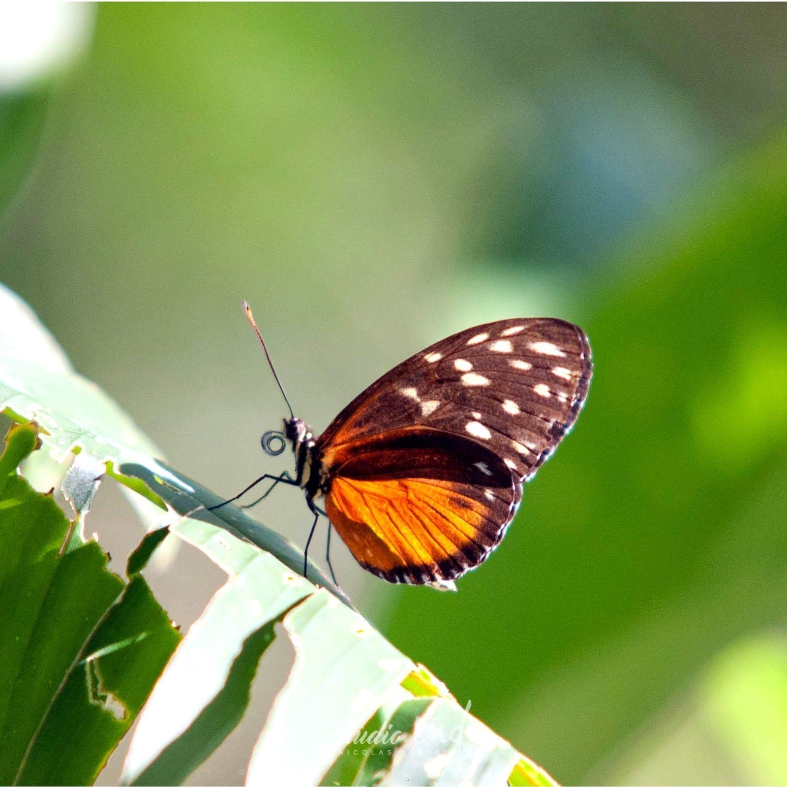 Photographie et reportage de voyage, animalier papillon Costa Rica Nicolas Delsaut
