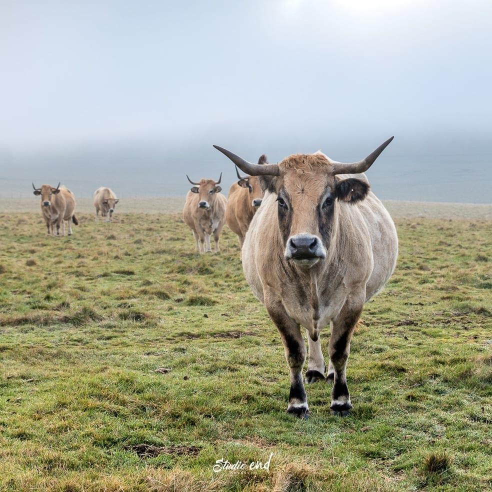 Photographies de vaches Aubrac de retour des paturages