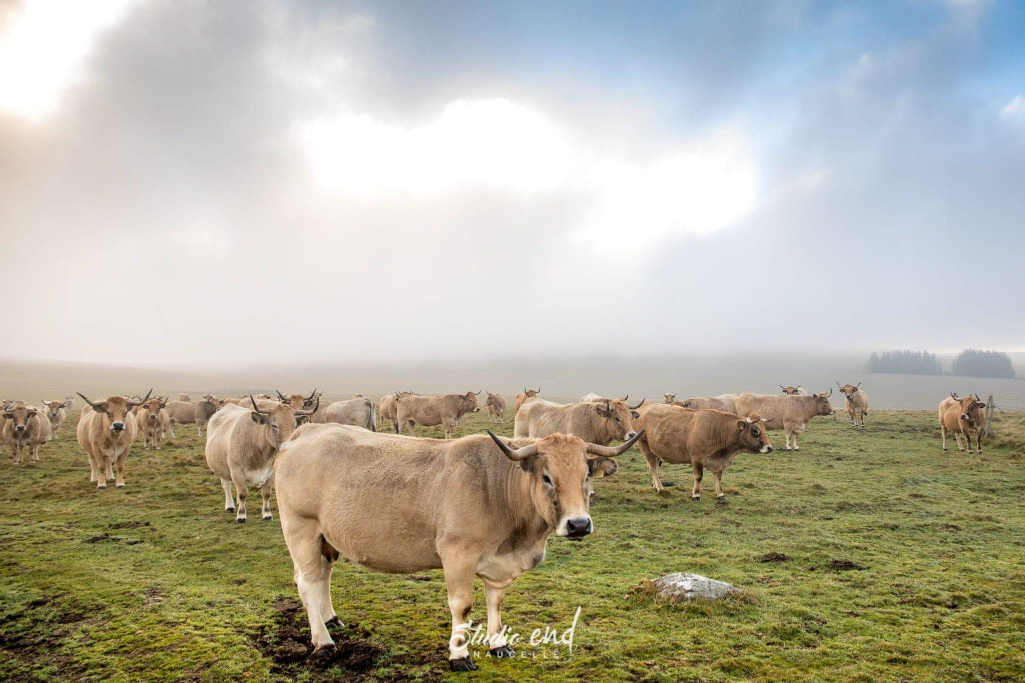Vaches dans les plateaux de l'Aubrac