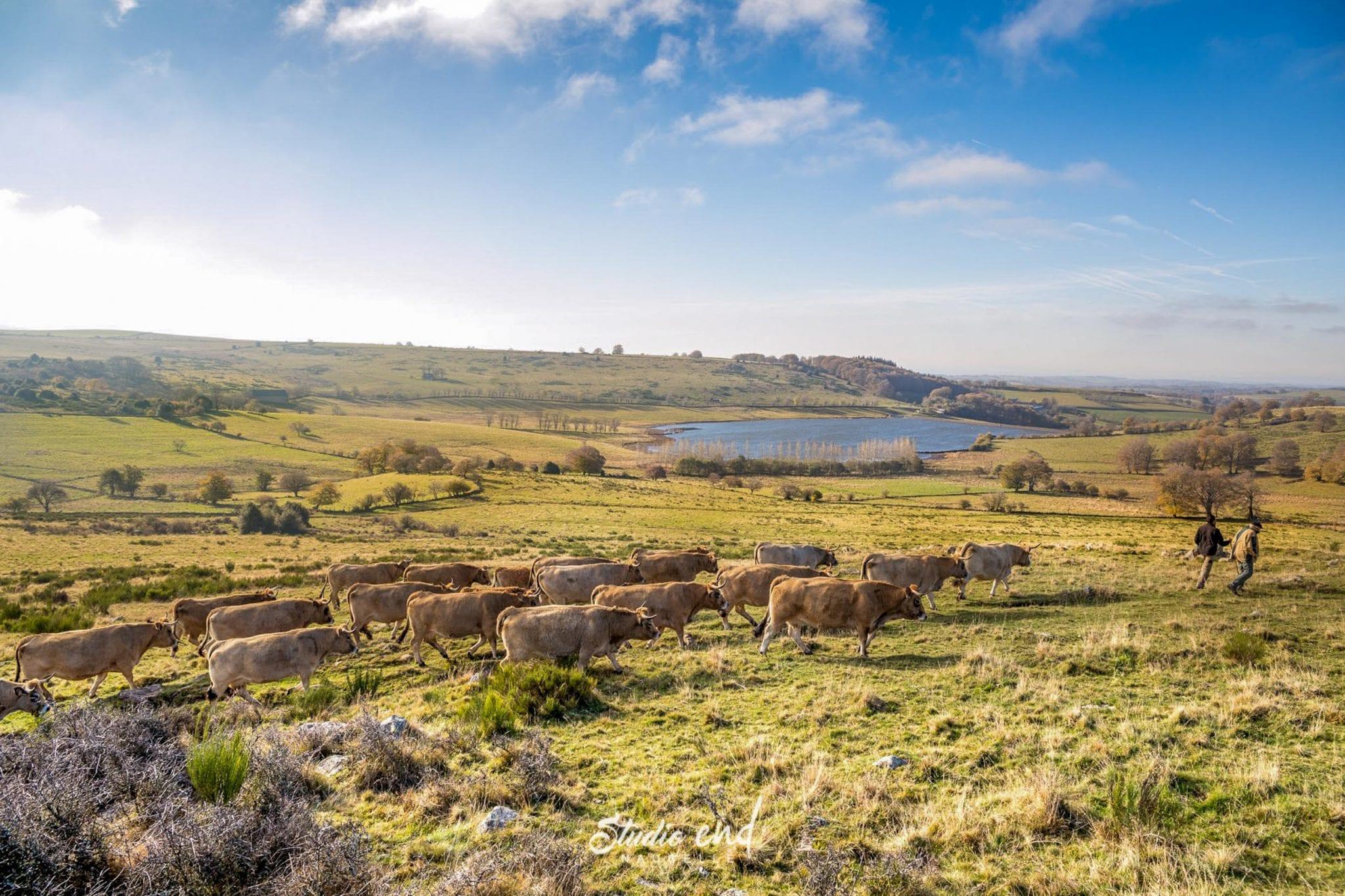 Vaches en Aubrac dans leur pré, reportage animalier Studio End