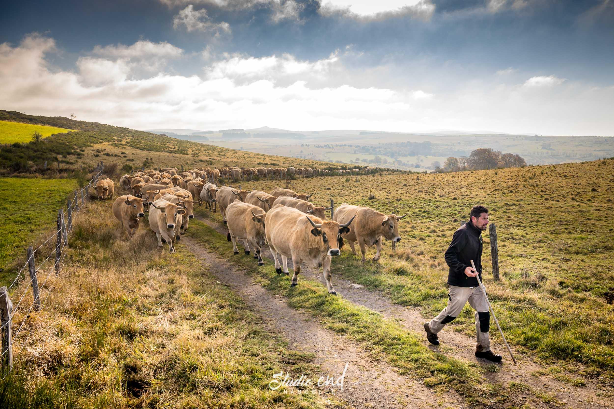 Agriculteur qui mène son troupeau de vaches au pré en Aveyron
