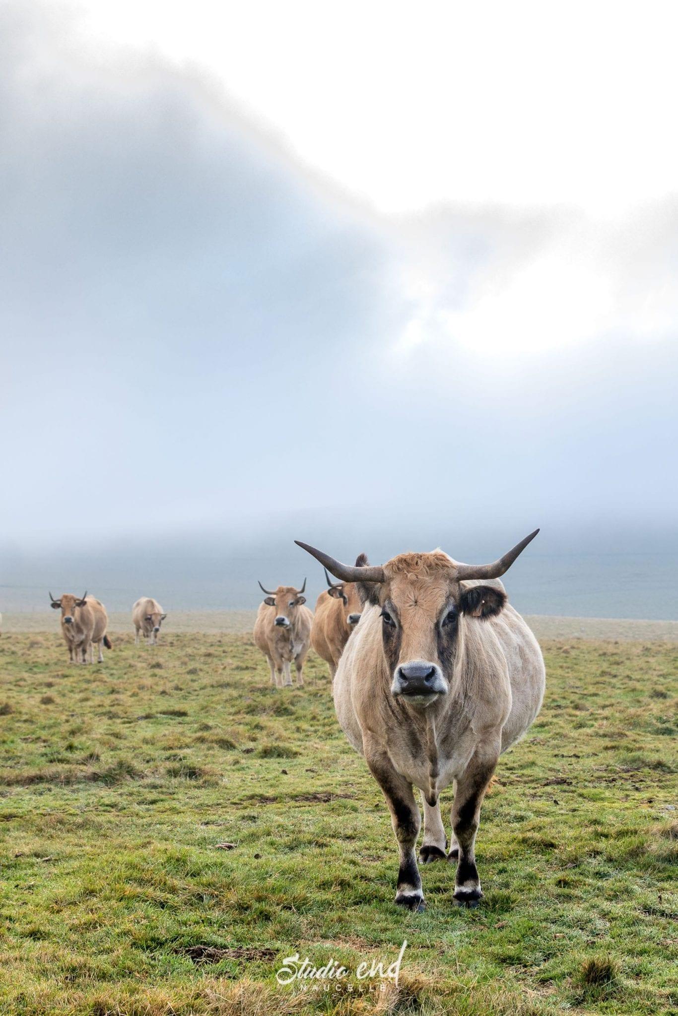 Transhumance de la vache Aubrac en Aveyron