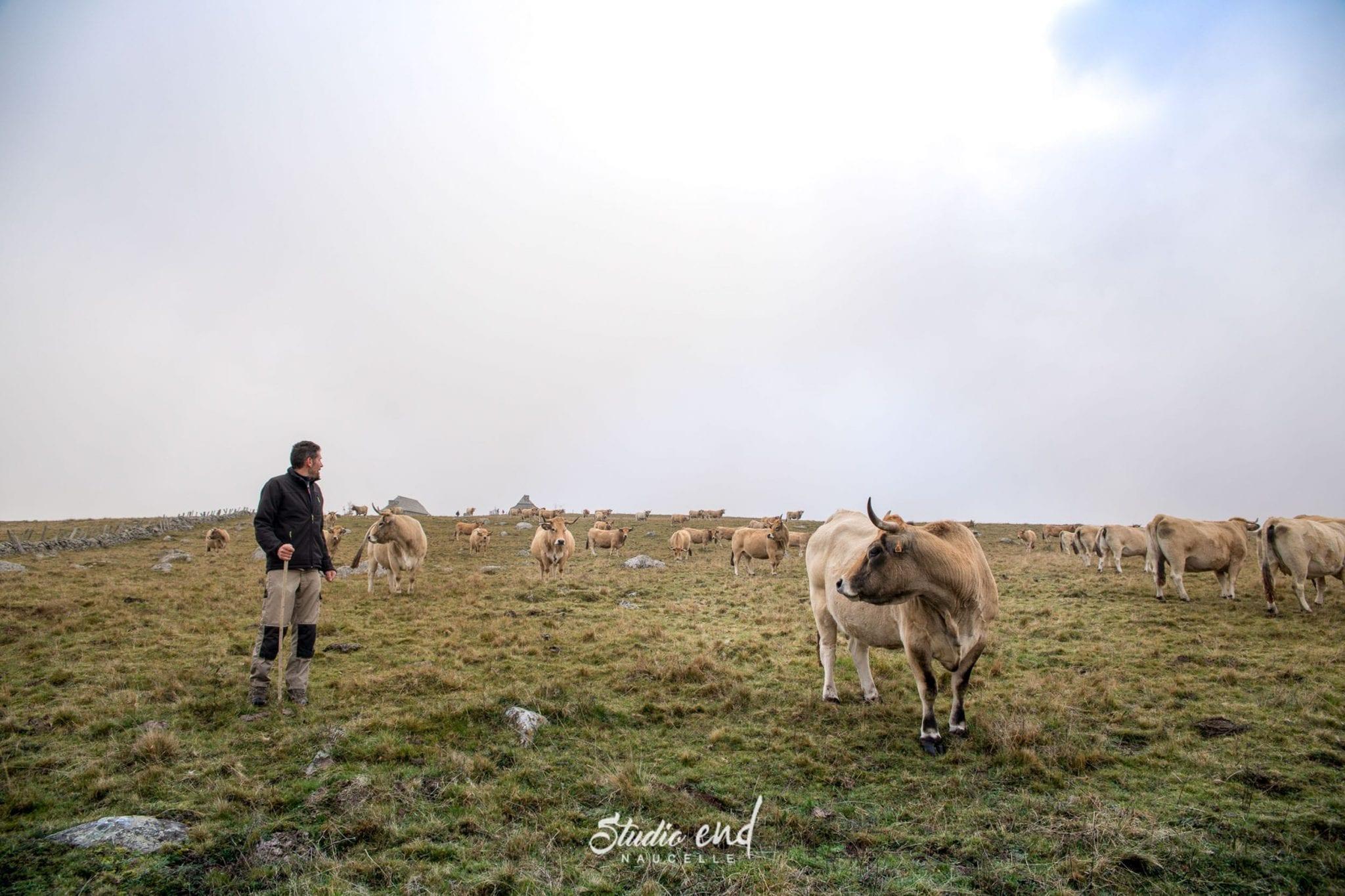 Vache qui regarde son agriculteur, vue d'Aubrac en Aveyron proche de Rodez
